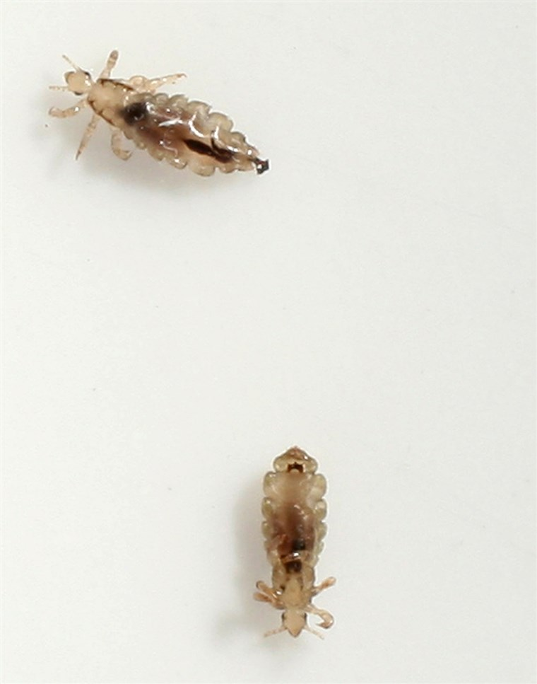 BERLIN - JUNE 22: Two head lice (Pediculus humanus capitis) crawl on a piece of paper after having been removed from the hair of a little boy June 22...