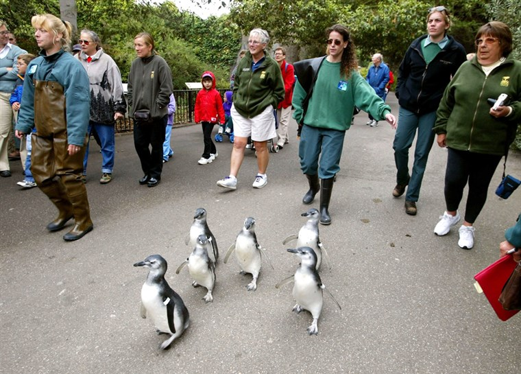 מגלן penguin chicks waddle through the San Francisco Zoo.