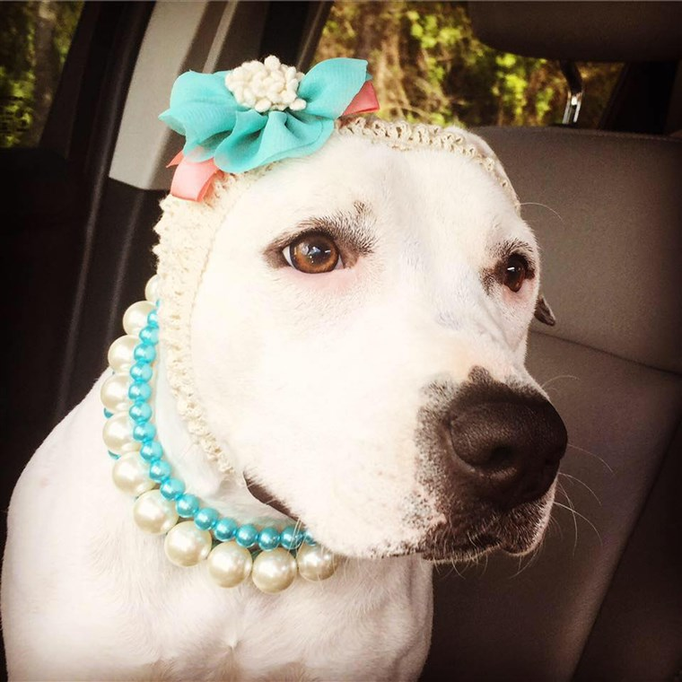 אביגיל the pit bull with headbands