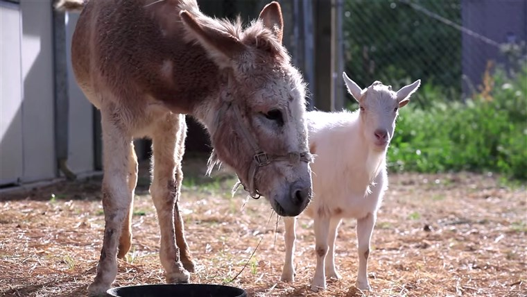 Slika: Jellybean the burro and Mr. G the goat reunited at an animal sanctuary