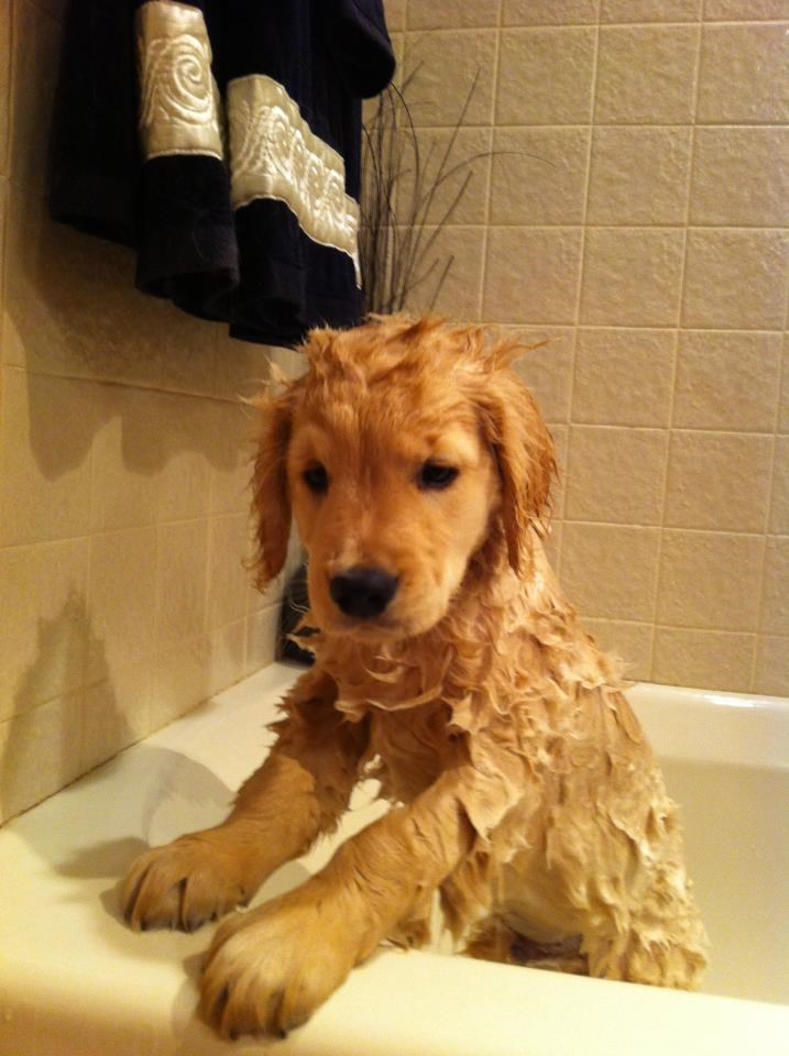 ריי Charles The Golden Retriever