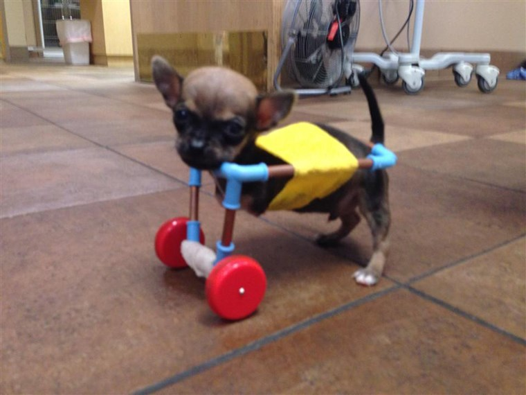 Turbo the Chihuahua is shown cruising around in a cart custom-made from toy parts.