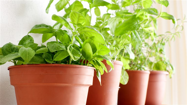 पॉट herbs: Basil, Mint and Rosemary