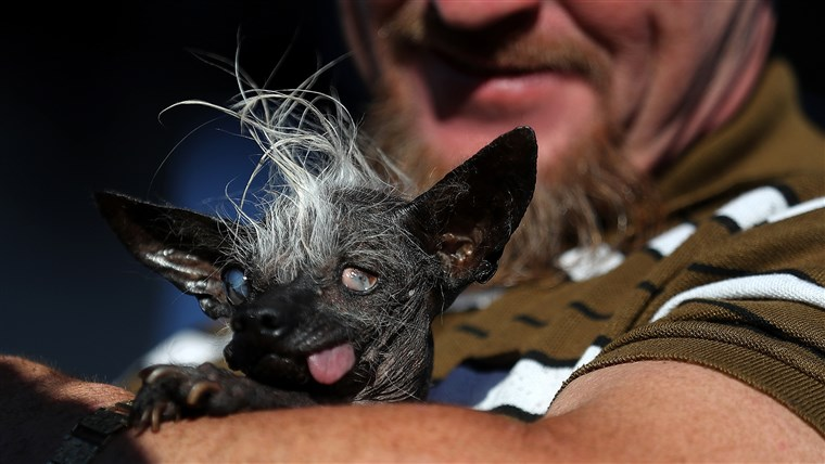 कुत्तों Compete In World's Ugliest Dog Contest