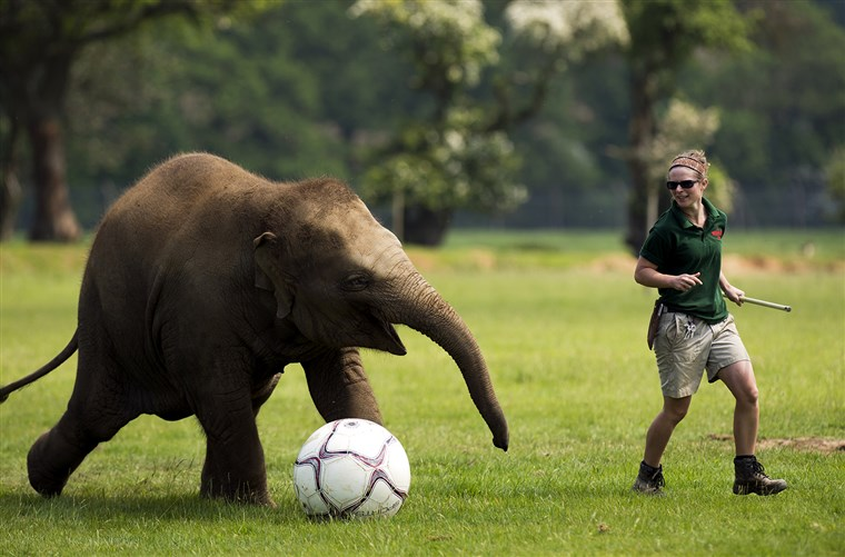 Elefánt keeper Elizabeth Fellows plays football with Donna, a two-year-old elephant at Whipsnade Zoo near Dunstable, central England on May 28, 2012....