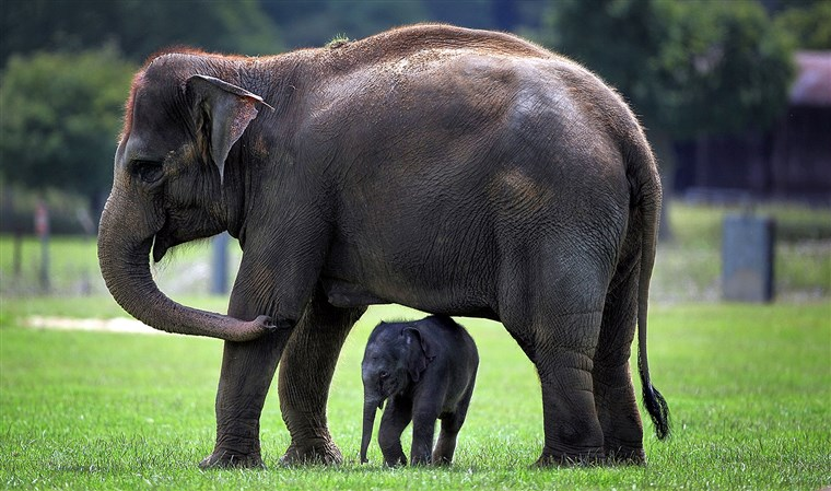 Whipsnade, ENGLAND - JULY 28: A newborn Asian elephant stands with other members of its herd at Whipsnade Wild Animal Park on July 28, 2009 in Whipsn...