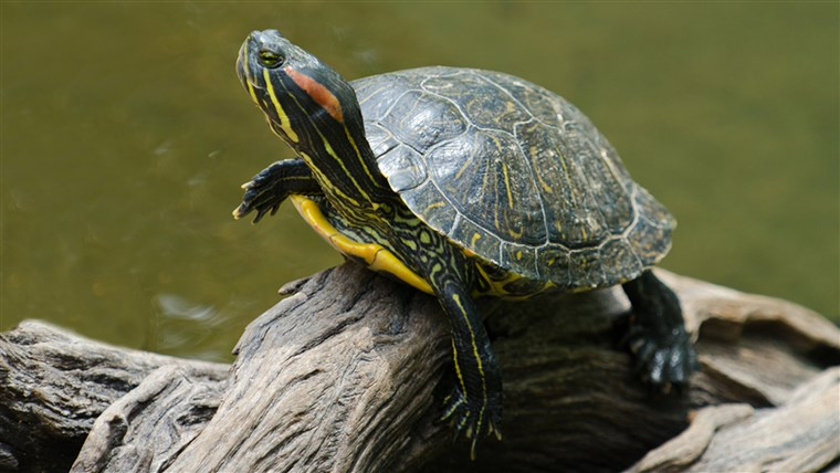 א red-eared slider turtle basking in the sun on a dead branch; Shutterstock ID 116958556; PO: today.com