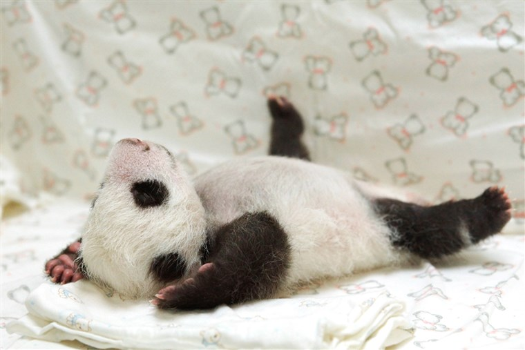 Hol's the camera? The panda cub sprawls out on her blanket.