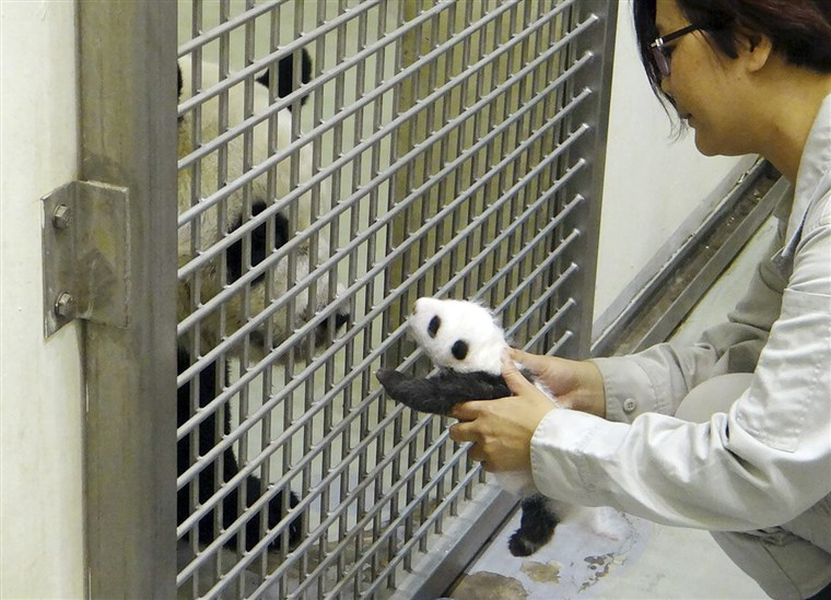 A Taipei Zoo staff worker reunites the cub with her mom...