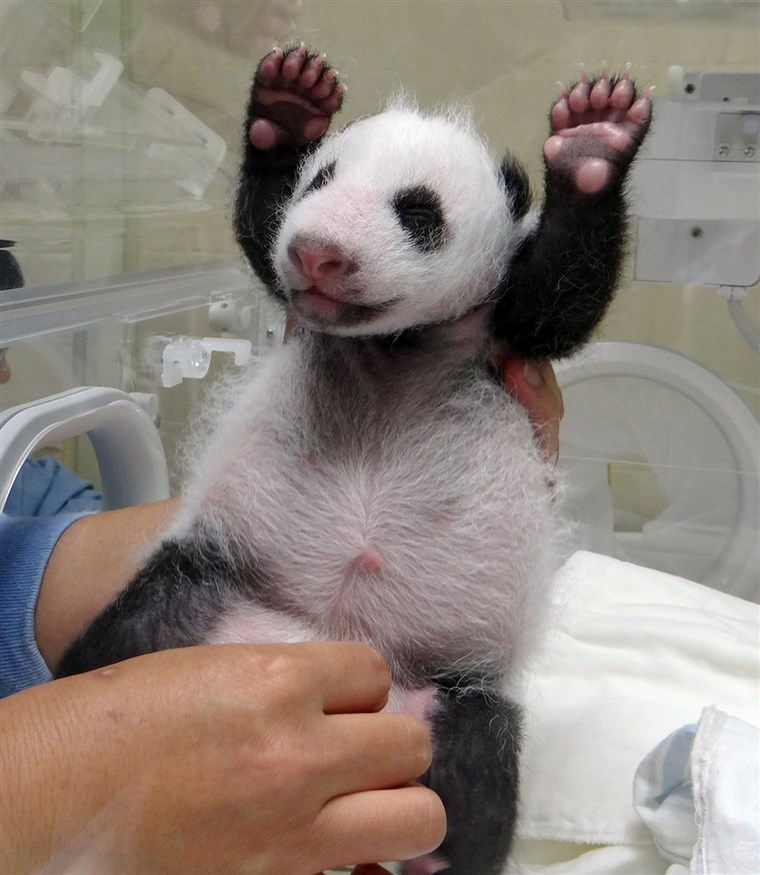 A panda cub gets an exam. Is that a smile?